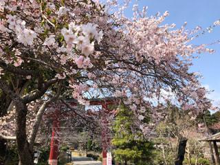 桜と神社の鳥居の写真・画像素材[1101363]