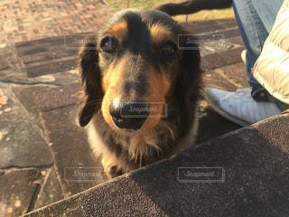 カメラを見て犬の写真・画像素材[1004219]