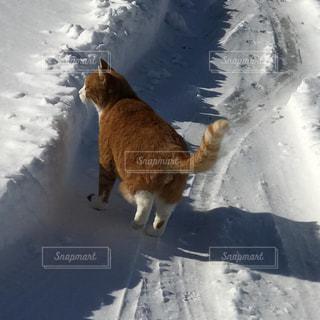 雪の中を歩く猫の写真・画像素材[1007421]