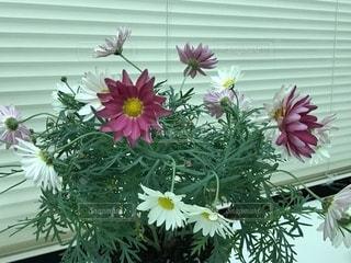 色々な色のマーガレット鉢植え - No.1009338