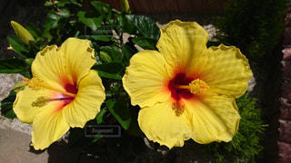 庭で咲いたハイビスカスの写真・画像素材[1016952]