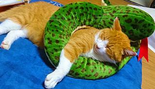 蛇に巻かれて寝てるニャンコの写真・画像素材[1016961]