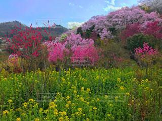 花見山公園の写真・画像素材[1114943]