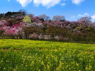花見山公園の写真・画像素材[1114951]
