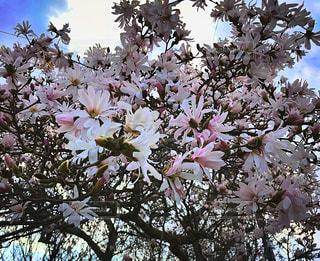花見山公園の写真・画像素材[1114952]