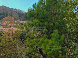 森の大きな木 - No.1114989