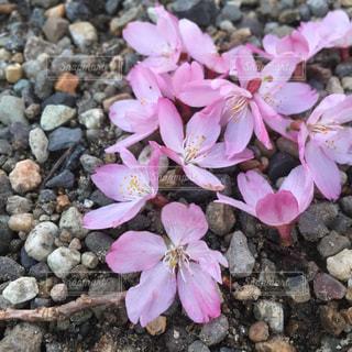 桜の花びらの写真・画像素材[1005400]