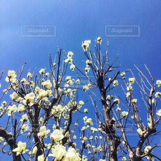 木蓮と青空の写真・画像素材[1005402]
