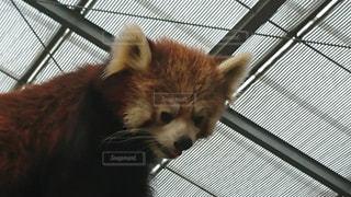 レッサーパンダの写真・画像素材[1004230]