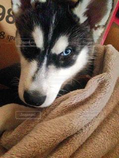 毛布にくるまる子犬の写真・画像素材[1006404]