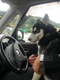 犬の運転手の写真・画像素材[1010147]