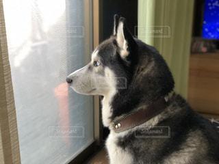 窓の前に座っている犬の写真・画像素材[2391623]