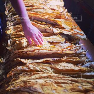タバコの葉っぱの写真・画像素材[1005592]