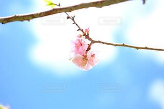 桜開花 - No.1006267