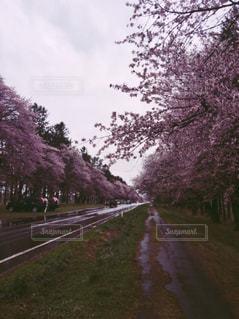 桜の季節 - No.1248468