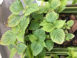 植物の接写の写真・画像素材[2093308]