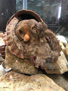 蛸壺のタコの写真・画像素材[1063757]