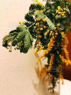 ミモザの葉っぱと花 - No.1083003