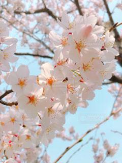 サクラの花のアップの写真・画像素材[1100134]