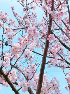 サクラの花と青空の写真・画像素材[1108511]
