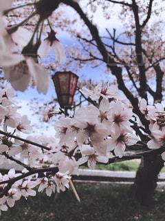 サクラの花と提灯の写真・画像素材[1109060]