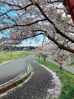 道路とサクラの枝の写真・画像素材[1109061]