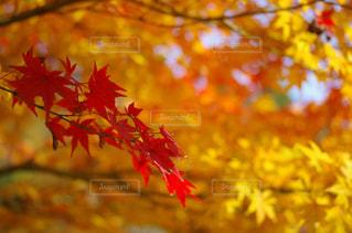 紅葉する葉の写真・画像素材[1247036]