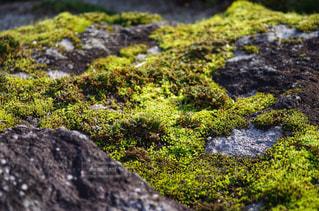 岩に生えた苔の写真・画像素材[1652174]