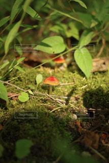 苔から生えたキノコの写真・画像素材[1730842]