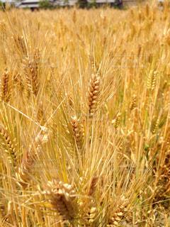 金色に輝く小麦の写真・画像素材[1737825]