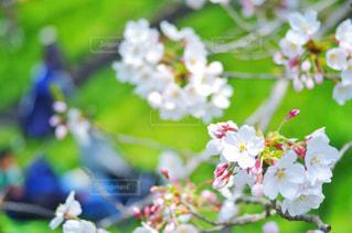 満開の桜(緑バック)の写真・画像素材[2019009]