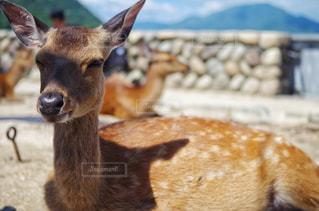 宮島 厳島神社 野生のシカの写真・画像素材[2236763]