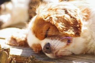 お昼寝するキャバリアの写真・画像素材[3942265]