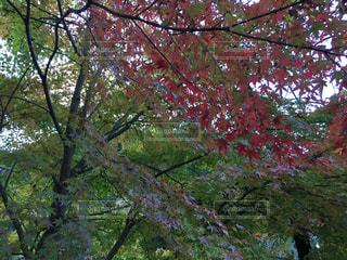 紅葉が始まるの写真・画像素材[263867]