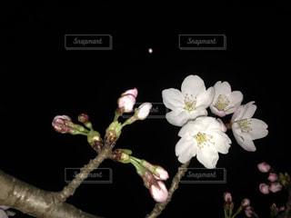夜桜の写真・画像素材[1018451]