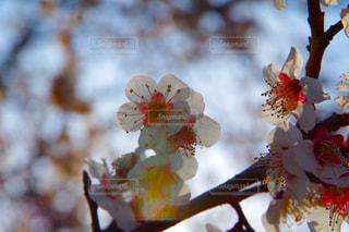 梅の花の写真・画像素材[1008942]