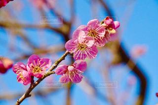梅の花の写真・画像素材[1008943]
