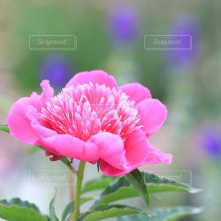ピンクの花の写真・画像素材[1014767]