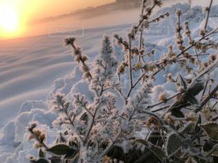 朝日に照らされた樹氷の写真・画像素材[1009384]