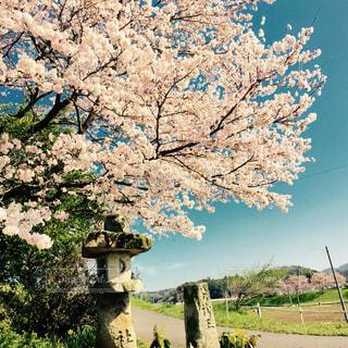 桜の木の写真・画像素材[1009444]