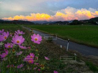 秋桜と夕焼け雲の写真・画像素材[1014000]