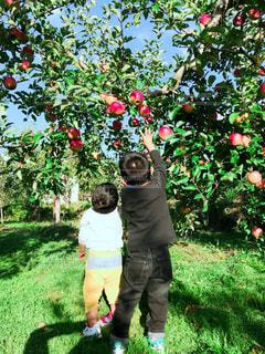 りんご狩りをする兄弟の写真・画像素材[1600757]