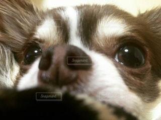 カメラを見て茶色と白犬の写真・画像素材[1007755]