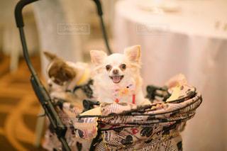 テーブルの上に座っている犬の写真・画像素材[1007841]