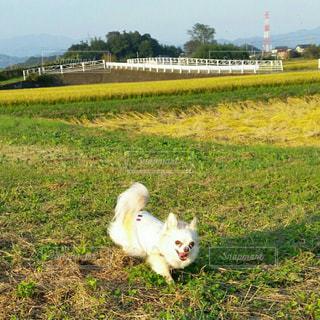 芝生のフィールドに立っている大きな白い鳥の写真・画像素材[1112261]