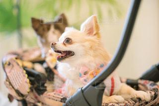 カメラにポーズを鏡の前で座っている犬の写真・画像素材[1112468]