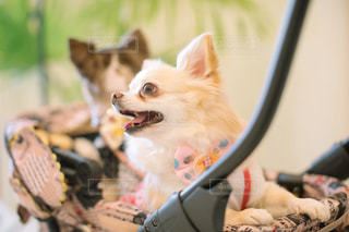 カメラにポーズを鏡の前で座っている犬の写真・画像素材[1127692]