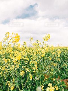 フィールド内の黄色の花の写真・画像素材[1135638]