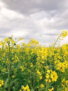 フィールド内の黄色の花の写真・画像素材[1135795]