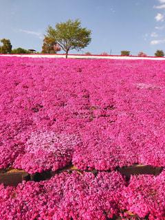 緑の葉とピンクの花の写真・画像素材[1135812]